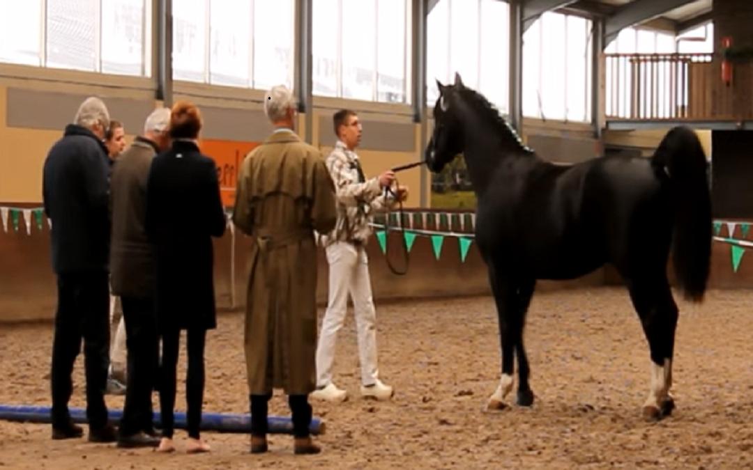 Zesjarige hengst Maistro Polo winnaar hengstenkeuring Groninger Paard