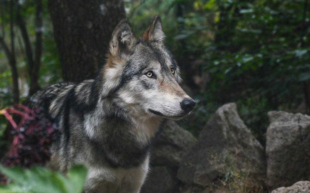 Duitse jagers doden 'probleemwolf' net over de grens met Overijssel en Drenthe
