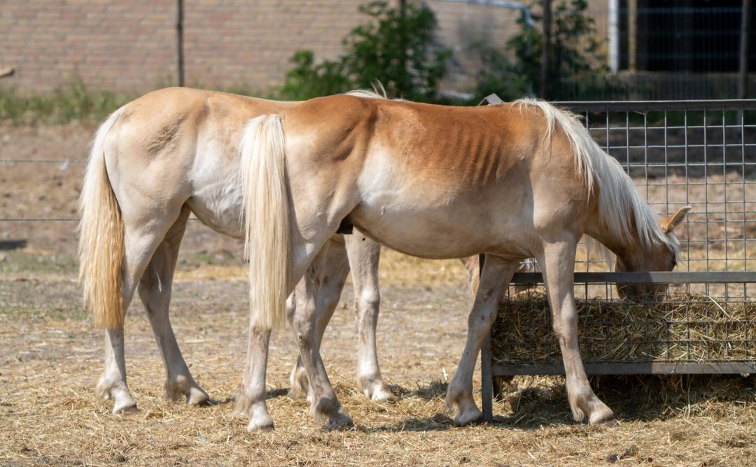 Tientallen verwaarloosde pony's op zandvlakte, merrie overleden, dierenpolitie kan niks