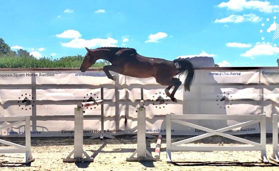 Dennis Swennen: drie weken achter elkaar, met paarden waar we trots op zijn