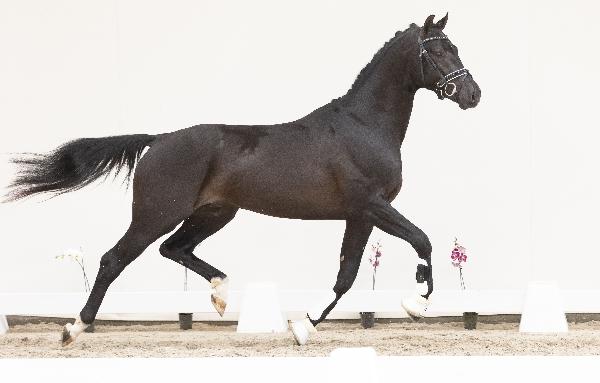 Black Horses Auction: Biedingen op dressuurpaarden zijn geopend