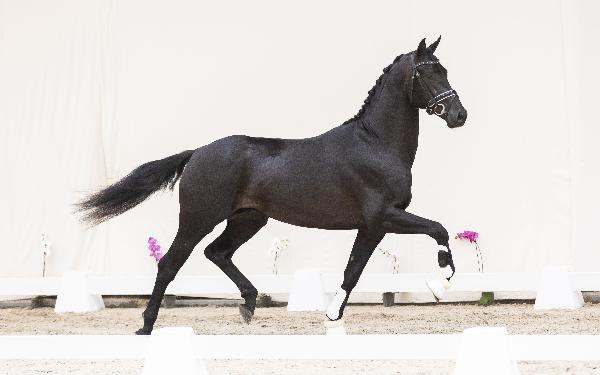 Black Horses Auction: 161.000 voor Everdale-hengst Noir BH