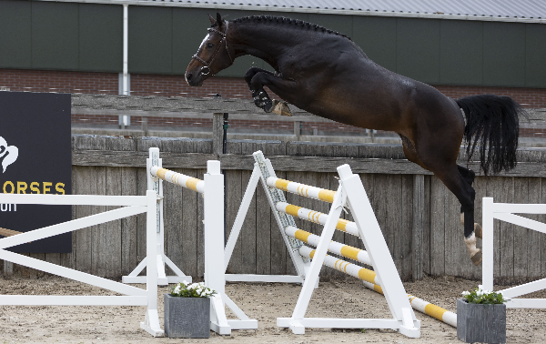 Black Horses Auction: vanavond springpaardenveiling mét bonus embryo Chacco Blue uit Cumano-dochter Wesselina
